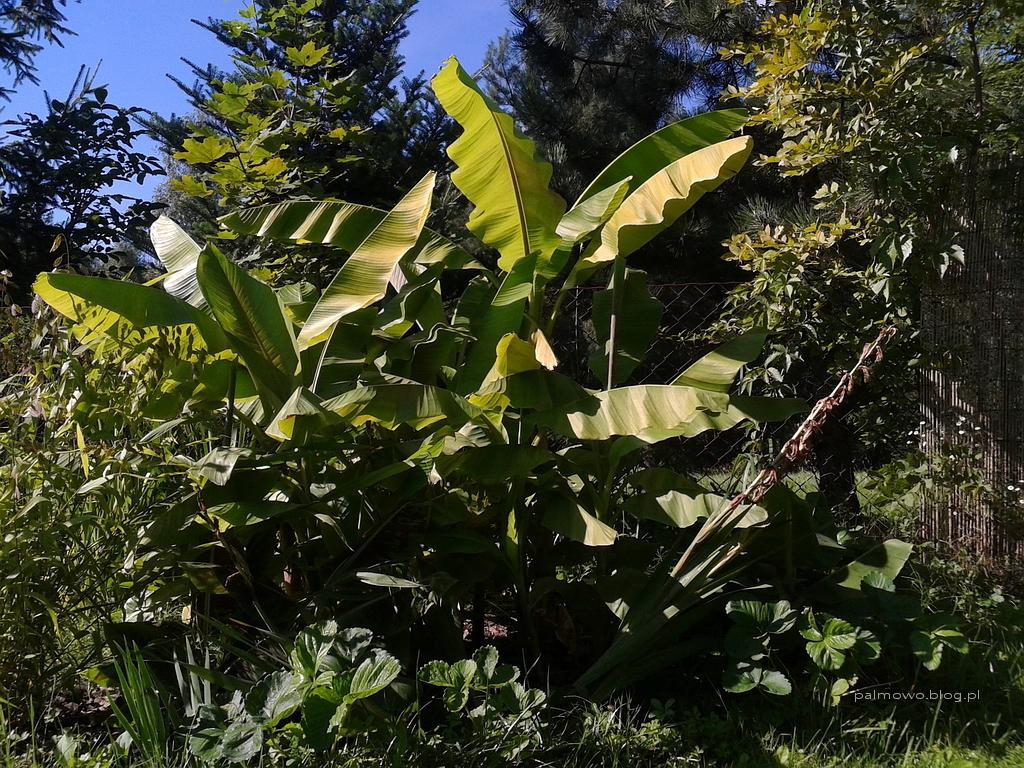 Mrozoodporne bambusy w ogrodzie