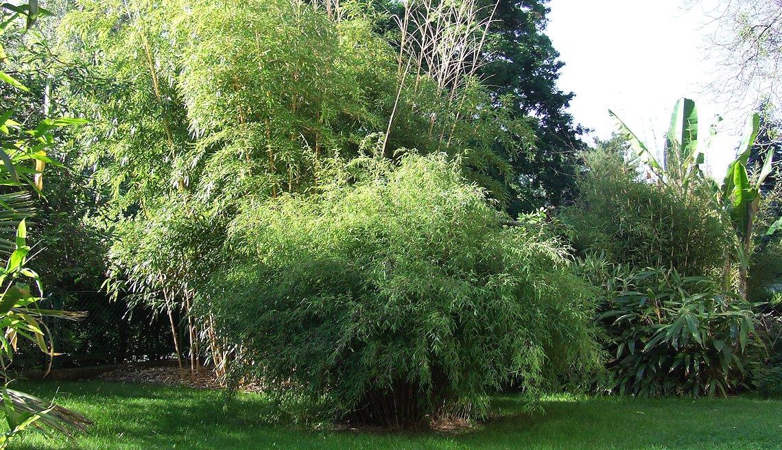 mrozoodporne bambusy w Polsce