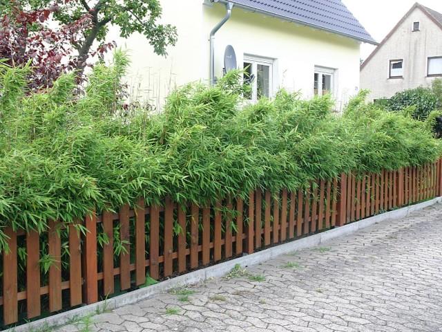 Fargesia murielae. Źródło: www.bambuspflanzen.de