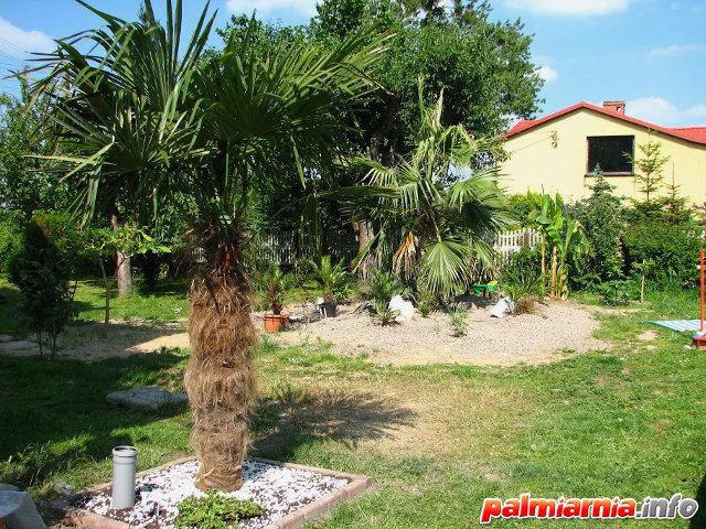 Trachycarpus Fortunei palmy w Polsce